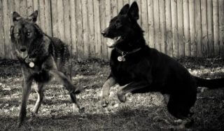 Some dogs can be more similar to wolves in their behavior and interaction than extremes between the different dog breeds. Dark colored wolves are due to crossbreeding with domestic dogs 12,000-15,000 years ago. Wolves, Dogs, and Dingos are all subcategories of the same species and have all been proven to have crossbred to some extent and in the case of the dingo started as a wild animal, became domestic, and then back to the wild. Also, dingos have been bred back into some modern breeds such as the Australian Cattle Dog. Environmental conditions with all these varieties of the species have led to their fine differences in behavior and physique - just like the wide variety of differences seen within our domesticated versions. In the photo above a wolf and dog play using the same body postures and facial expressions understood by both varieties of the species.